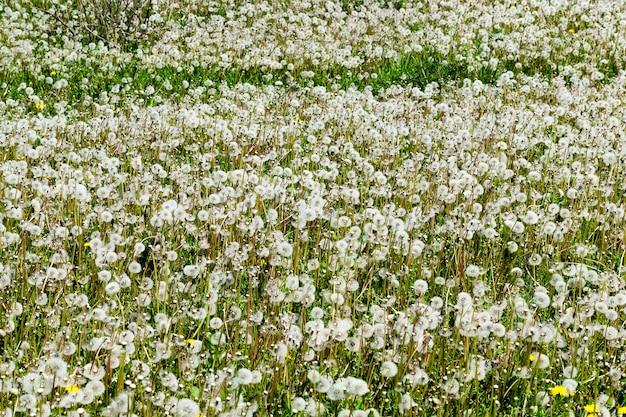 Puszyste białe mlecze i zielona trawa w polu. zbliżenie na wiosnę o małej głębi ostrości