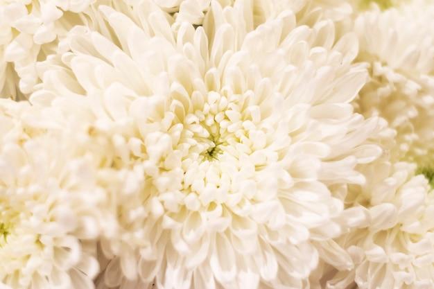 Puszyste białe tło chryzantemy. delikatne tło kwiatowy.