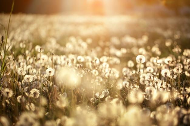 Puszyste mlecze świecą w promieniach słońca o zachodzie słońca w polu natury. piękne kwiaty mniszka lekarskiego na łące wiosną.