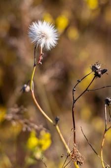 Puszysty biały przewiewny mniszek lekarski na gałęzi w słońcu jesienią. selektywne skupienie się na głowie kwiatu, brązowe tło niewyraźne. fotografia pionowa.