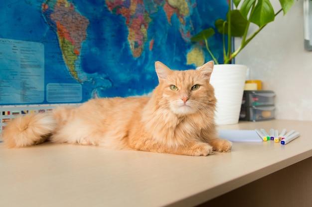 Puszysty czerwony kot leży na stole na tle mapy geograficznej