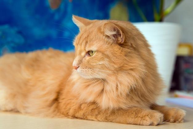 Puszysty czerwony kot odwraca wzrok w zbliżeniu