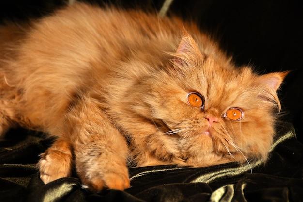 Puszysty czerwony kot perski śpi na sofie