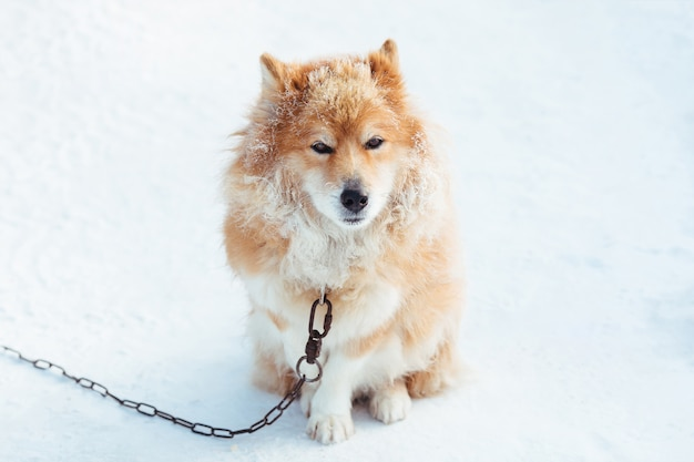Puszysty czerwony przykuwający pies outdoors w zimie na śnieżny patrzeć