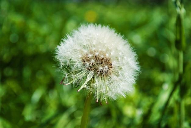 Puszysty dandelion w parku na wiosnę