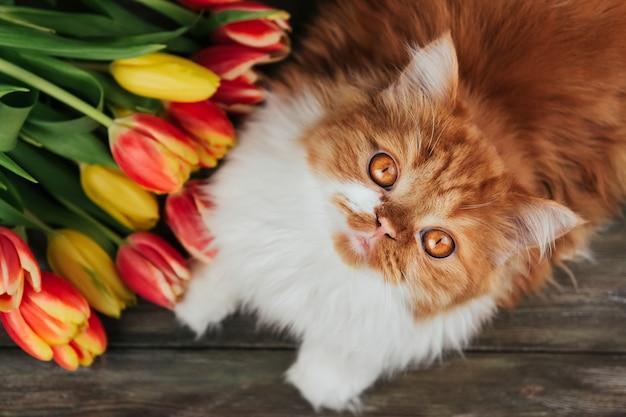 Puszysty imbirowy kot na tle czerwoni i żółci tulipany.
