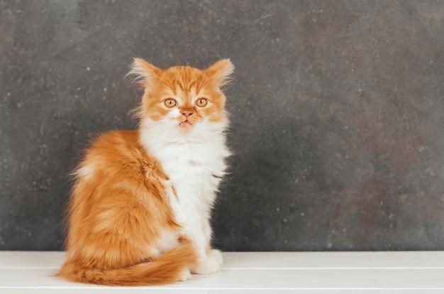 Puszysty imbirowy kotek siedzi na ciemnoszarym tle