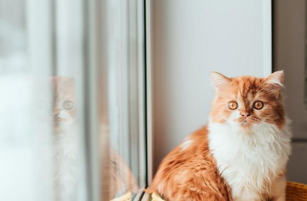 Puszysty imbirowy kotek siedzi na parapecie. czerwony kociak odbija się w okienku okna.