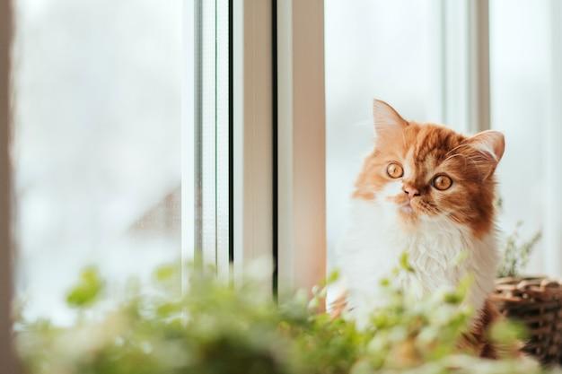 Puszysty imbirowy kotek siedzi na parapecie. rośliny domowe na parapecie i imbirowy kotek.