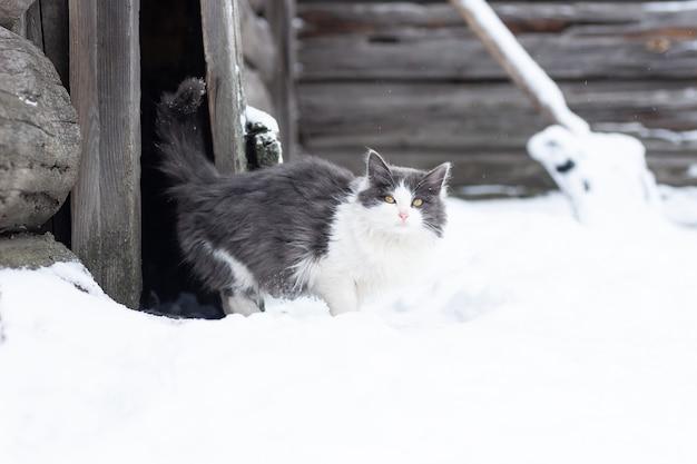 Puszysty, jasny kotek siedzi na śniegu i zimą patrzy z przodu