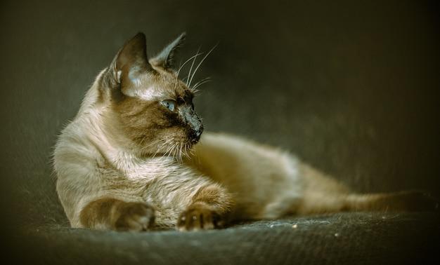 Puszysty kot o intensywnie niebieskich oczach leżący na sofie