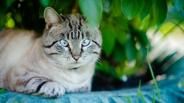 Puszysty kot syjamski o niebieskich oczach.