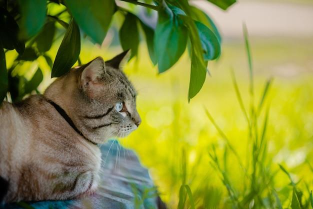 Puszysty kot syjamski siedzi na zielonej trawie.