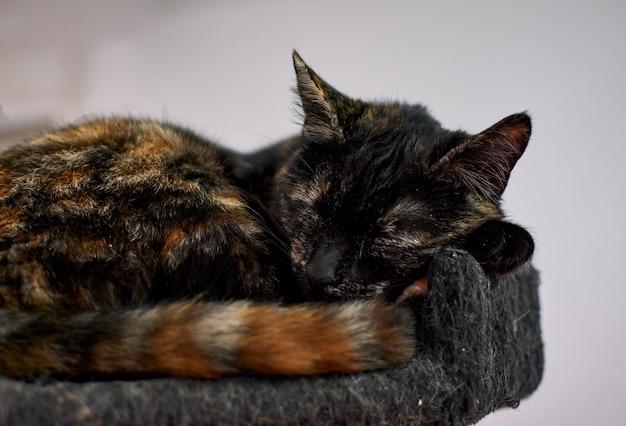 Puszysty kot szylkretowy śpi na drapaku