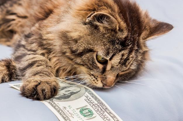 Puszysty kot trzyma 100 dolarów w łapach, zysk z biznesu