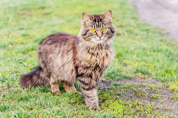 Puszysty kot w paski stoi na trawie i patrzy w przyszłość