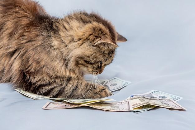 Puszysty kot w paski trzyma łapy dolarów