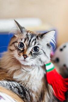 Puszysty kot z szalikiem na szyi patrzy w kamerę