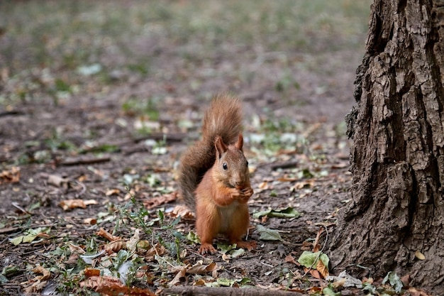 Puszysty mały gryzoń wiewiórkowy na ziemi trzyma orzech w łapach i zjada rozmyte tło