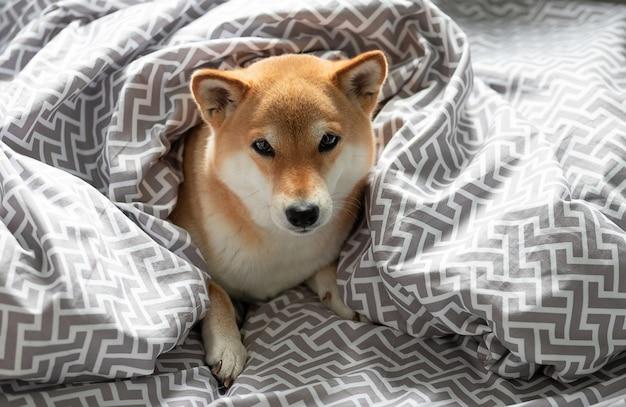 Puszysty młody czerwony pies shiba inu leży w łóżku właścicieli przykryty kocem