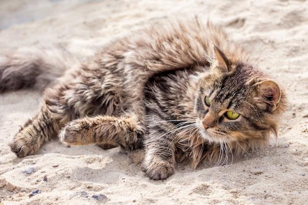 Puszysty młody kot leży na piasku w słoneczny dzień