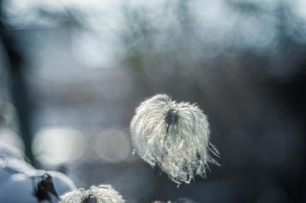Puszysty mniszek lekarski. makro zdjęcie natura roślina puszysty mniszek lekarski. kwitnący biały dandelion kwiat na tle rośliny i trawa.