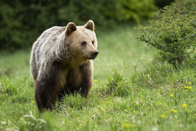 Puszysty niedźwiedź brunatny stojący na łące w lecie
