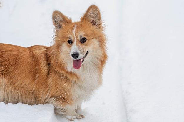 Puszysty pies wales corgi pembroke na zewnątrz, bliska portret na śniegu