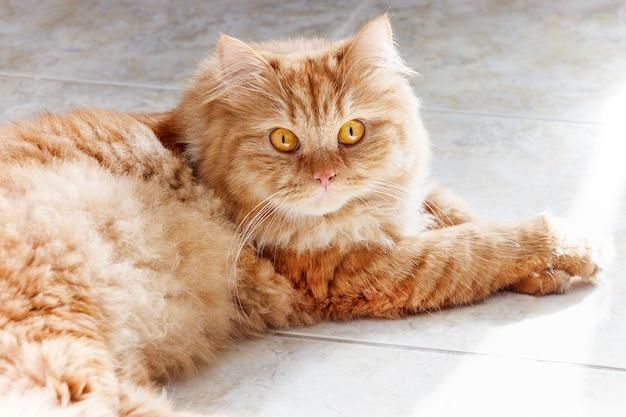Puszysty rudy kot o żółtych oczach leżący na podłodze z płytek.