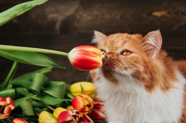 Puszysty rudy kot obwąchuje czerwonego tulipana. kot na tle wiosennych kwiatów.