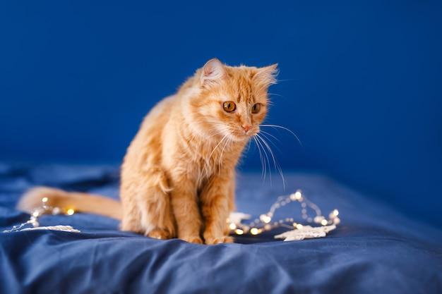 Puszysty rudy kot siedzi na łóżku i myje na niebieskim tle świąteczną girlandą.