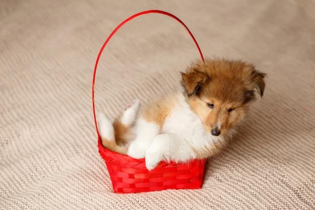 Puszysty siedzący pies szczeniak sheltie