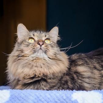 Puszysty szary kot na okno patrząc w górę