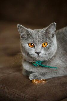 Puszysty szary kot siedzi przy złotych obrączkach