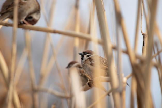 Puszysty wróbel w trzcinach w ciepły wiosenny dzień