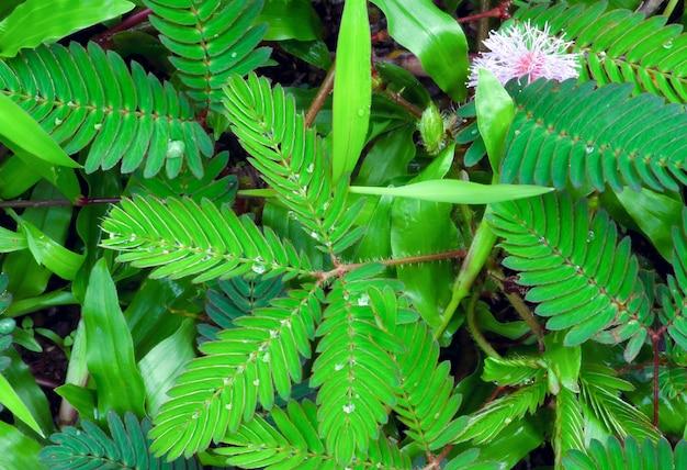 Putri malu, roślina wstydliwa (mimosa pudica), roślina mimoza, wrażliwa trawa, plusk wody.