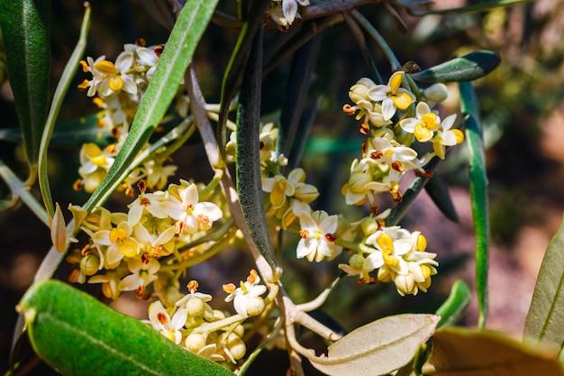 Pyłek drzewa oliwnego jest wysoce uczulony na osoby z problemami z oddychaniem i alergiami.