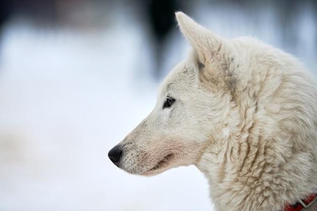 Pysk psa zaprzęgowego husky, zima. siberian husky pies rasy odkryty portret kaganiec