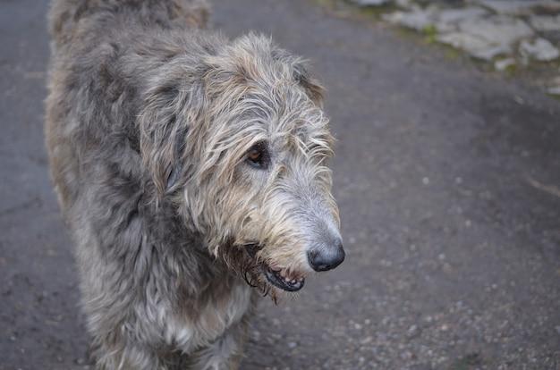 Pysk wilczarza irlandzkiego o srebrno-szarym futrze.