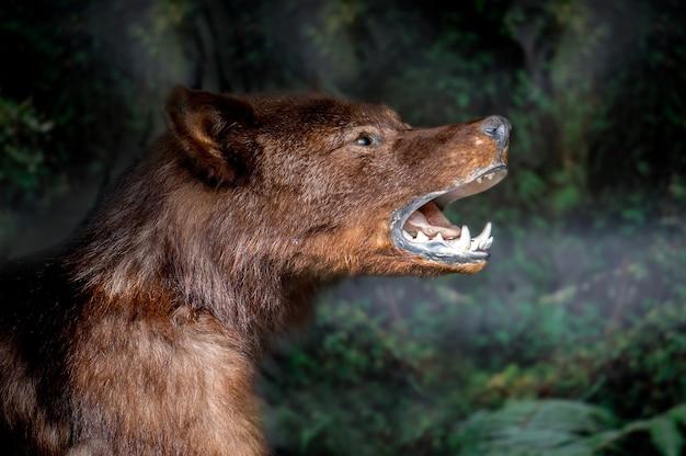Pysk wilka z bliska. straszne dzikie zwierzę z bliska. wilcze oczy i zęby. zwierzę strach na wróble.