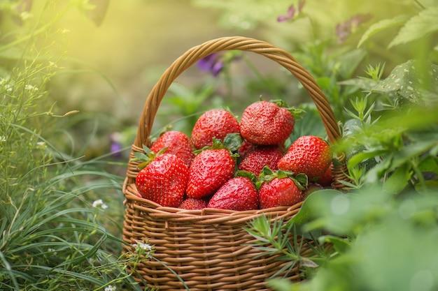 Pyszne soczyste czerwone truskawki w koszu. truskawki w koszu