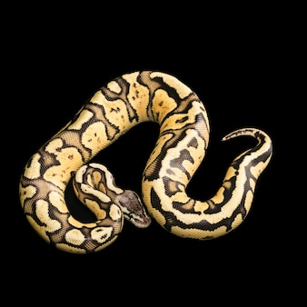 Python ball female. firefly morph or mutation