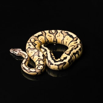 Python ball female