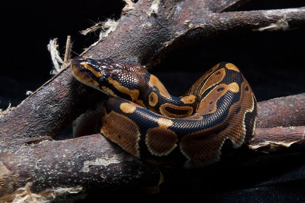 Python ball na gałęzi