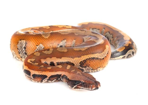 Python brongersmai na białym tle