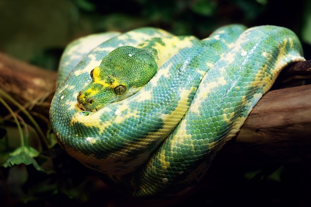 Python green tree