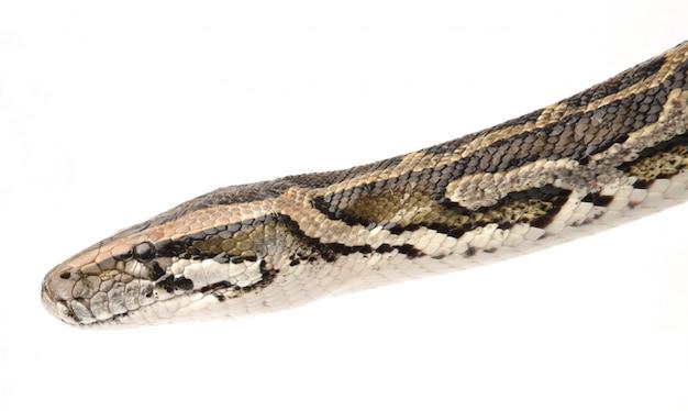 Python indyjski z bliska