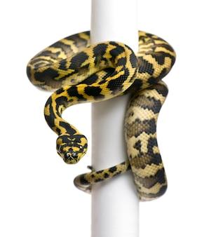 Python morelia spilota variegata na słupie