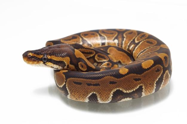 Python piłka na białym stole