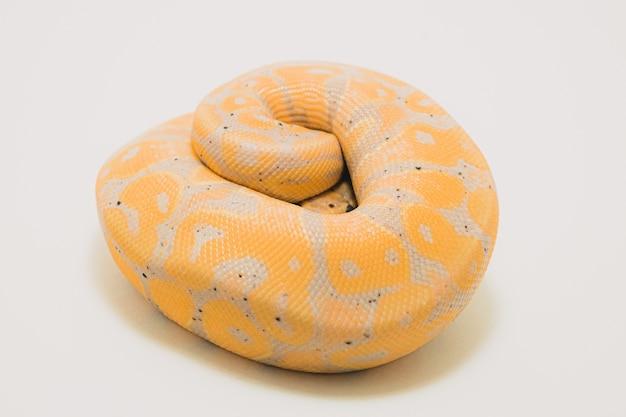 Python piłkę bananową na białym tle